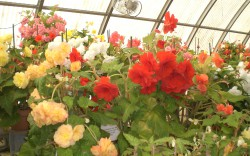 Sorry you missed: Begonia House Tour with Cheryl Whalen at White Flower Farm