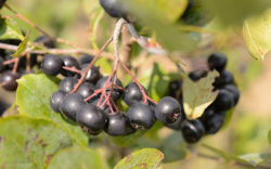 UConn Horticulturalist Mark Brand wins patents for modified black chokeberry cultivars