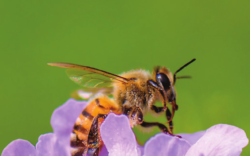 Common Native Bees with Heather Holm – Saturday, March 31, 2018 at 11 a.m.