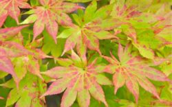Hardy Japanese Maples: The Species, the Cultivars and How to Grow Them
